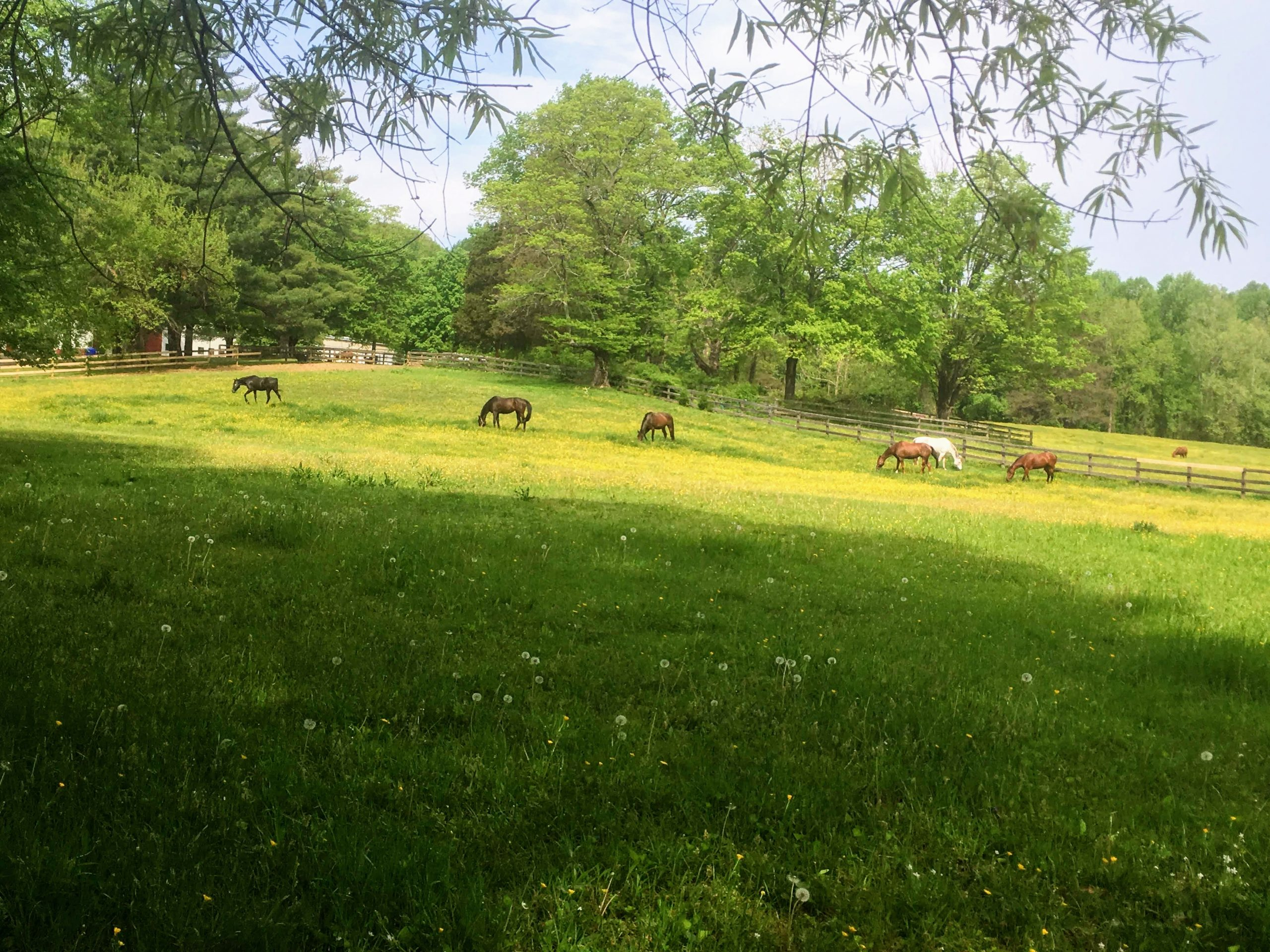 A wide shot of an open, grassy field shows horses freely grazing on a sunny day.