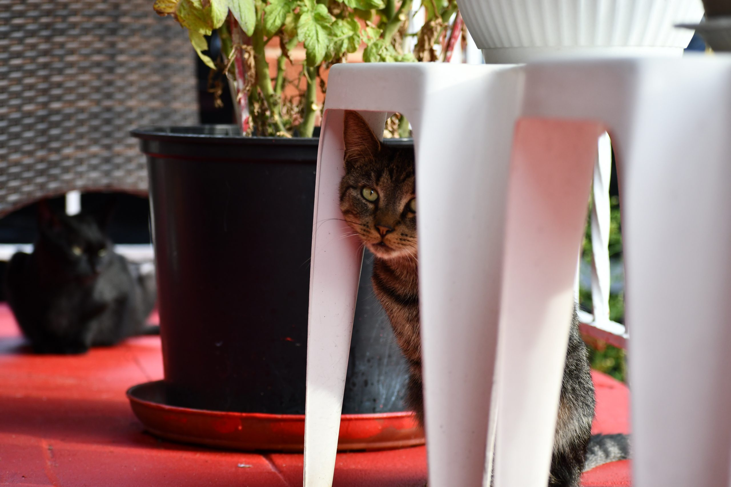 Black and gray striped tabby George peers out from behind a white plastic stool. Black cat Inky lies in the background.