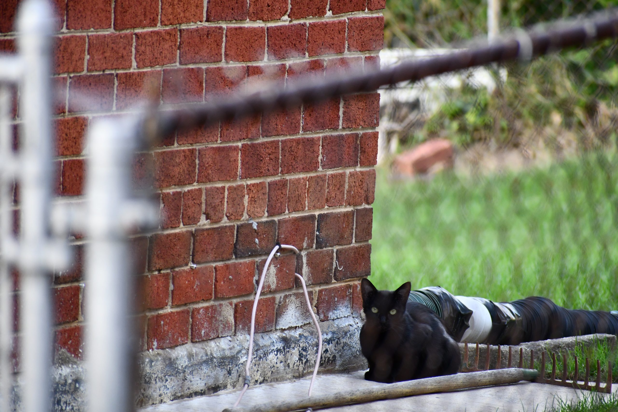 A young and pregnant black cat lies next to a brick house behind a silver chain linked fence.