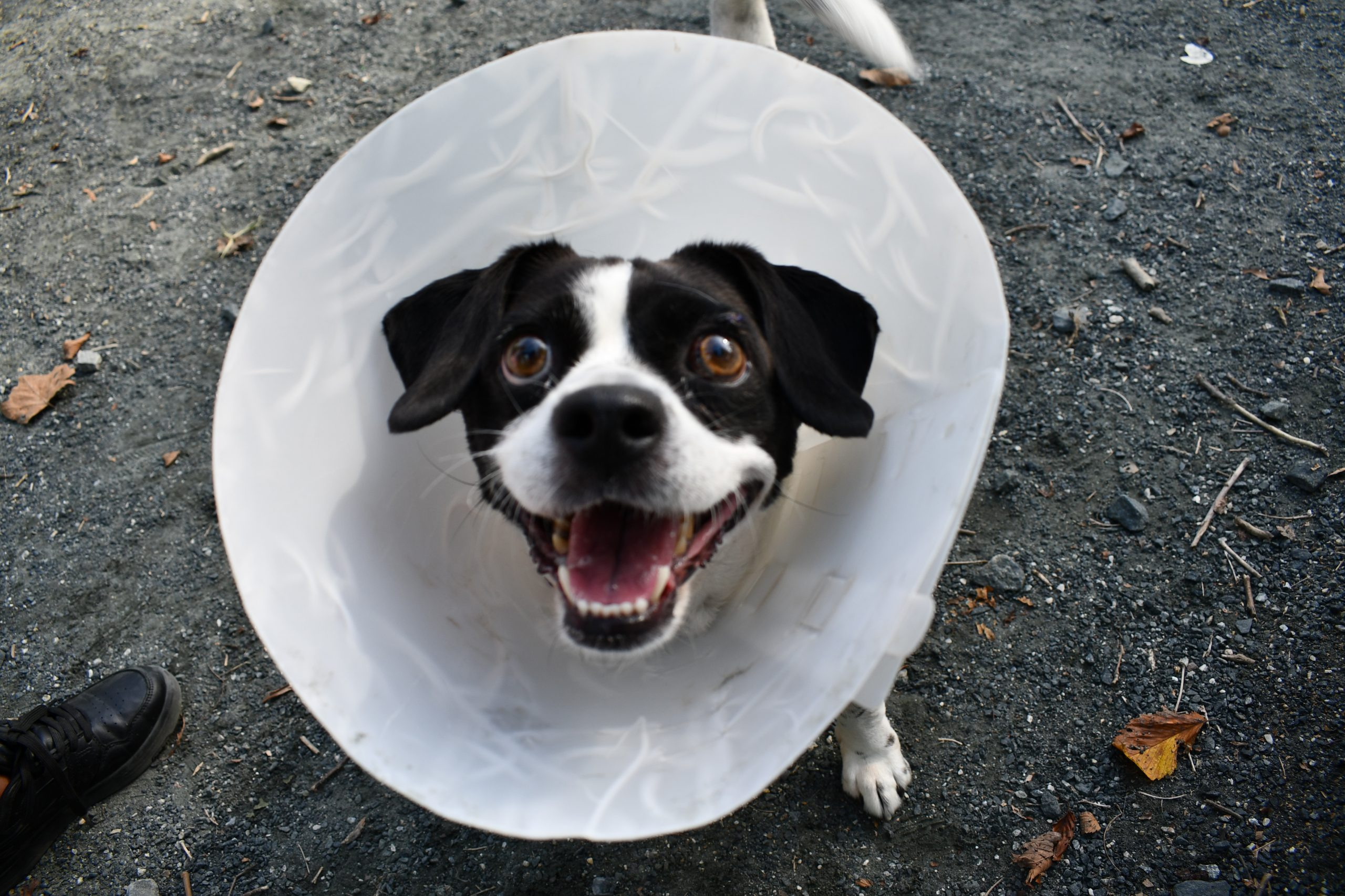 MooMoo, a black and white rat terrier mix, wears the cone of shame at the Takoma Park Dog Park while smiling up at the camera.